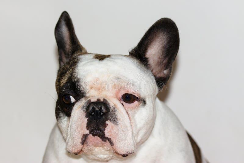 Frontal stående av den unga kvinnlign för fransk bulldogg arkivbild