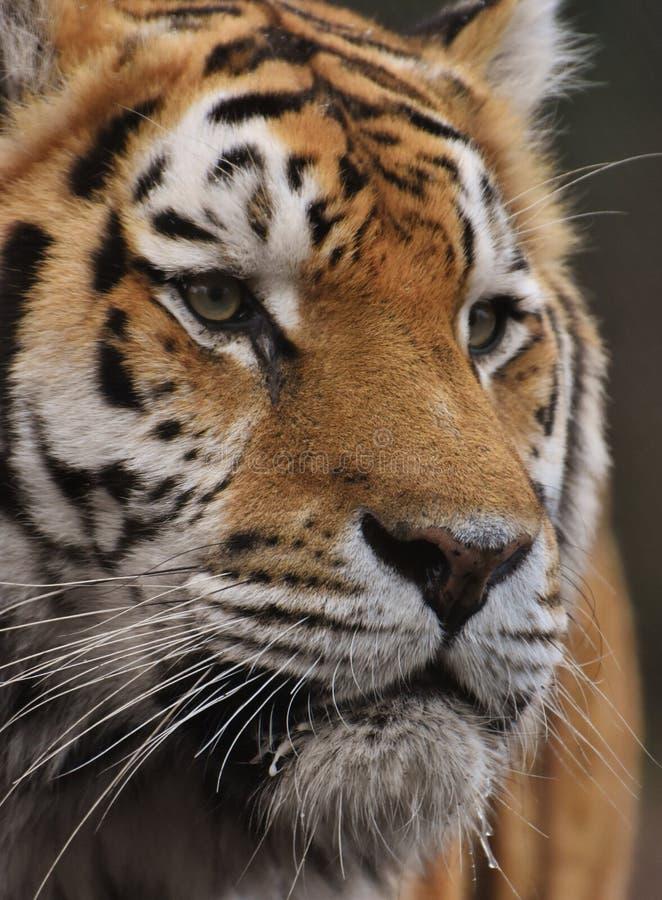 Frontal stående som skjutas av en tiger arkivfoton
