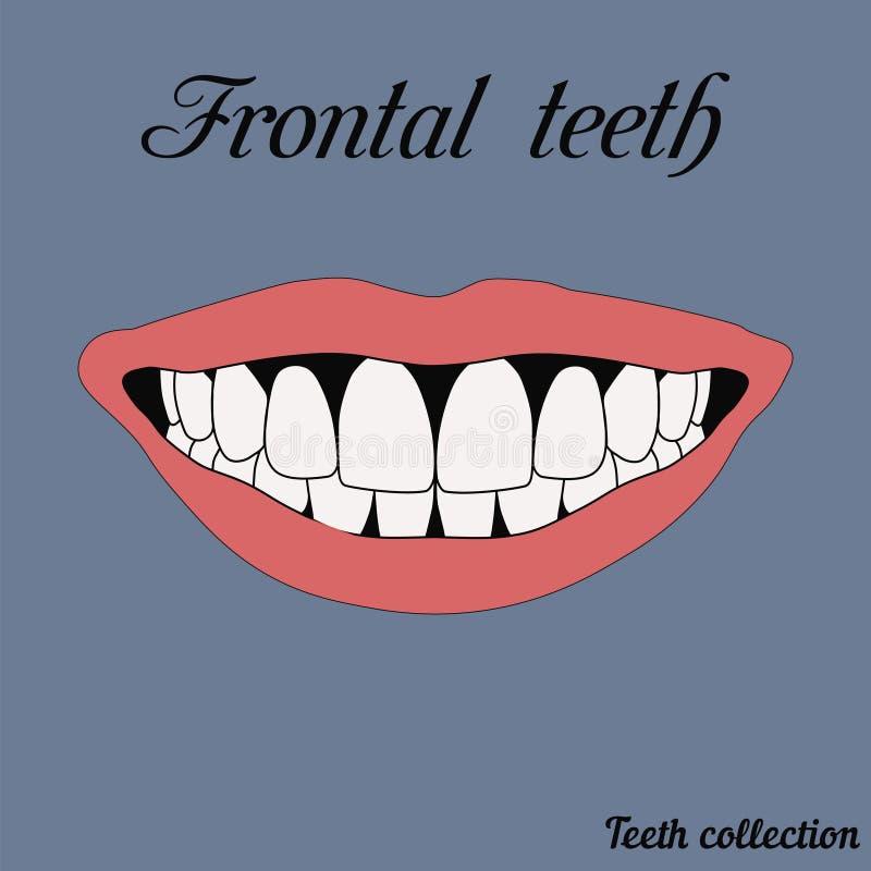 Frontal teeth vector illustration