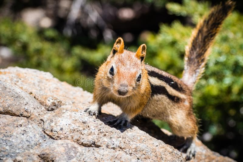 Frontal view of cute chipmunk, Lassen Volcanic Park National Park, Northern California royalty free stock photography