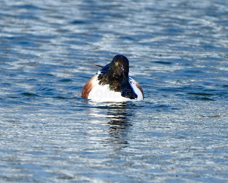 Frontal View of a Male Northern Shoveler. This is an early Spring picture of the frontal view of a male Northern Shoveler on the South Pond in Lincoln Park stock photos