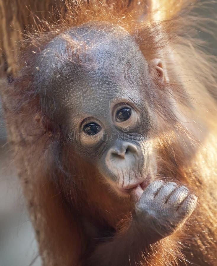Frontale Close-upmening van een jonge Orangoetan stock foto's