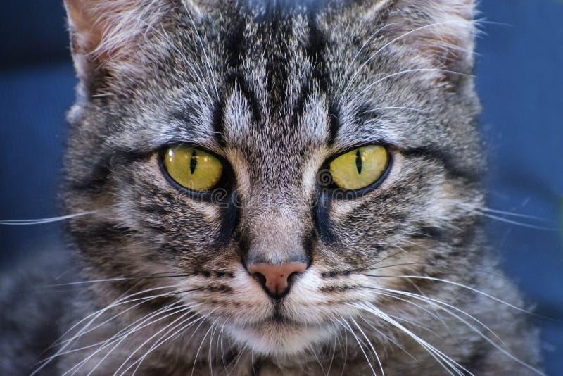 Frontales Porträt der Katze der getigerten Katze, Abschluss oben gegen einen blauen Hintergrund stockbilder