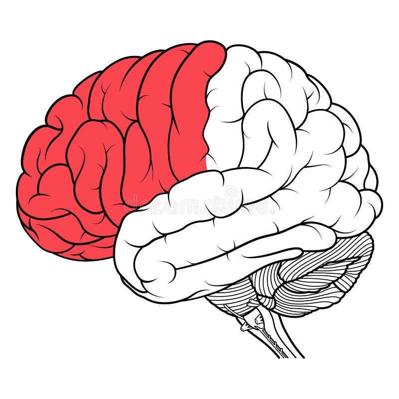 Frontallappen der Seitenansicht der Anatomie des menschlichen Gehirns flach lizenzfreie abbildung