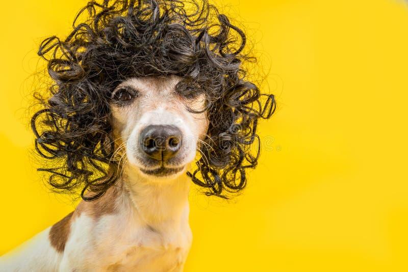 Fronte adorabile del cane nella parrucca nera di stile di afro Umore luminoso del partito Fondo giallo immagini stock libere da diritti