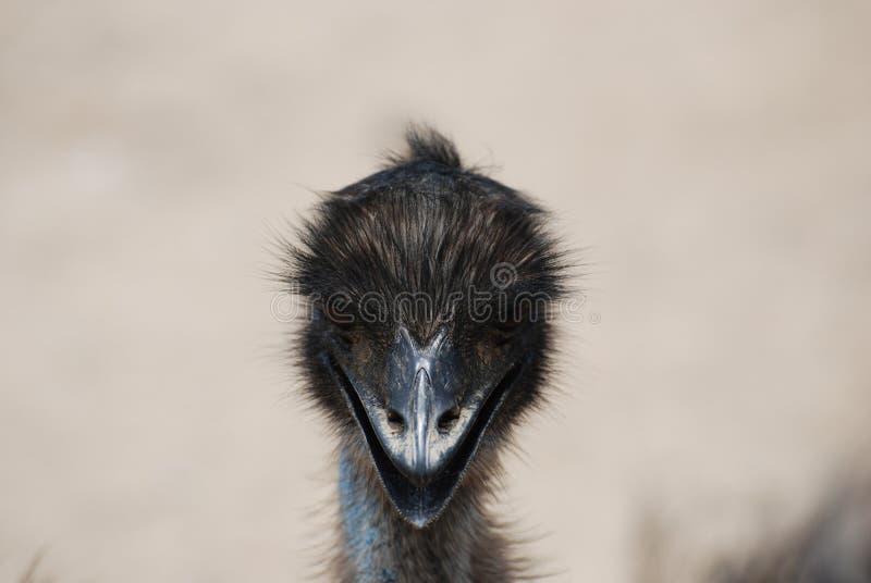 Fronte adorabile di un emù con le piume nere immagine stock
