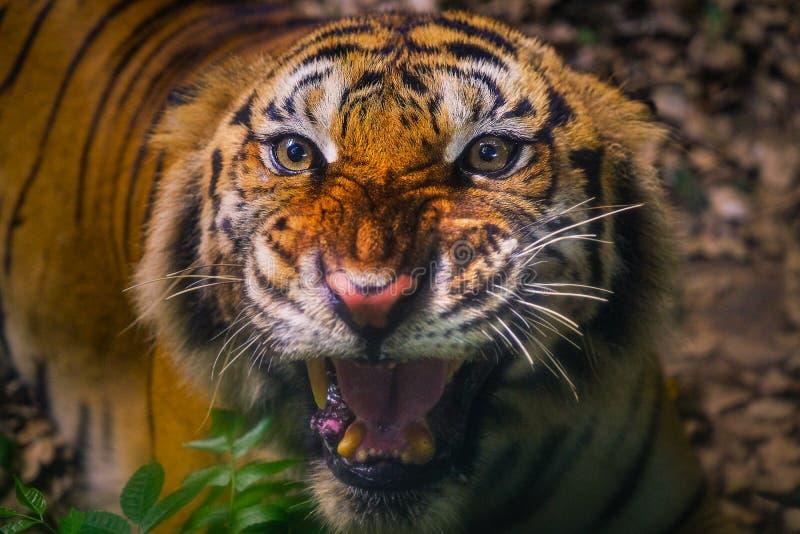Fronte arrabbiato della tigre di Sumatran Tiger Sumatran sembrando la macchina fotografica immagine stock libera da diritti