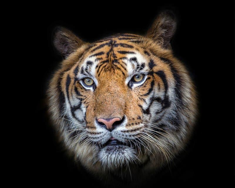 Fronte asiatico della tigre su fondo nero immagine stock libera da diritti