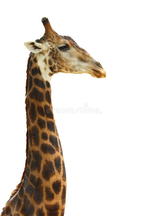 Fronte capo della giraffa fotografie stock