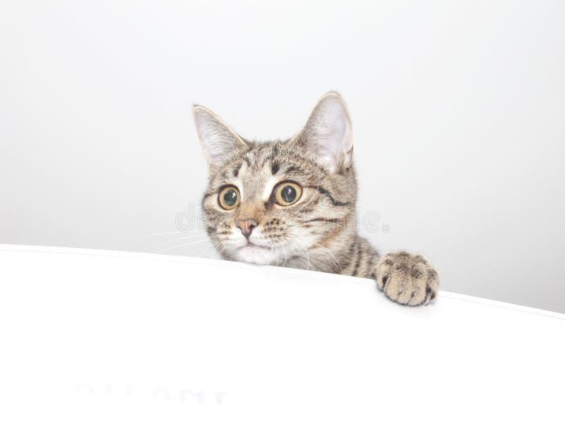 Fronte curioso allegro del gatto immagine stock libera da diritti