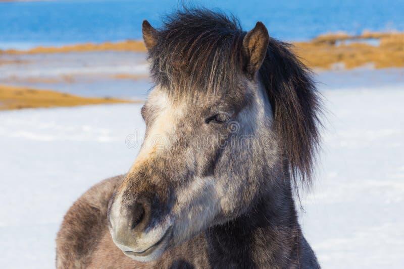 Fronte del cavallo islandese immagini stock libere da diritti