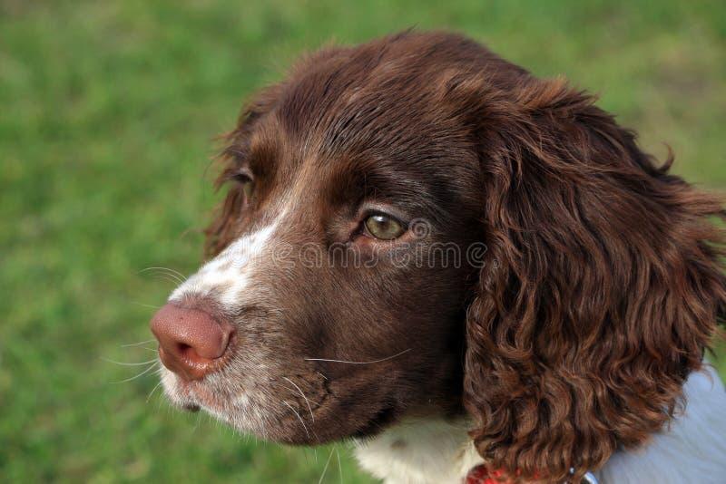 Fronte del cucciolo fotografie stock