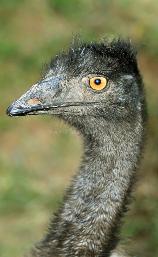 Fronte del Emu immagine stock