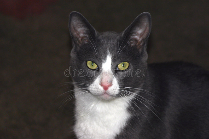 Fronte del gatto fotografia stock libera da diritti