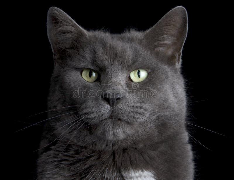 Fronte del gatto