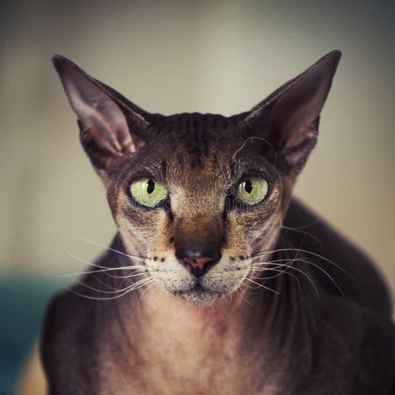 Fronte del gatto di Peterbald fotografia stock libera da diritti