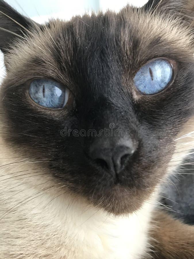 Fronte del gatto siamese fotografie stock