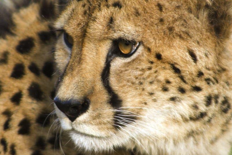 Fronte del ghepardo immagini stock libere da diritti