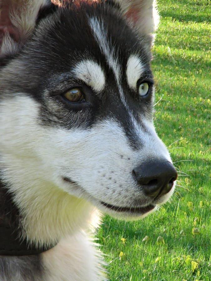 Download Fronte del husky fotografia stock. Immagine di hound, fedeltà - 3149232