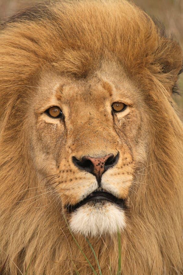 Fronte del leone. fotografia stock