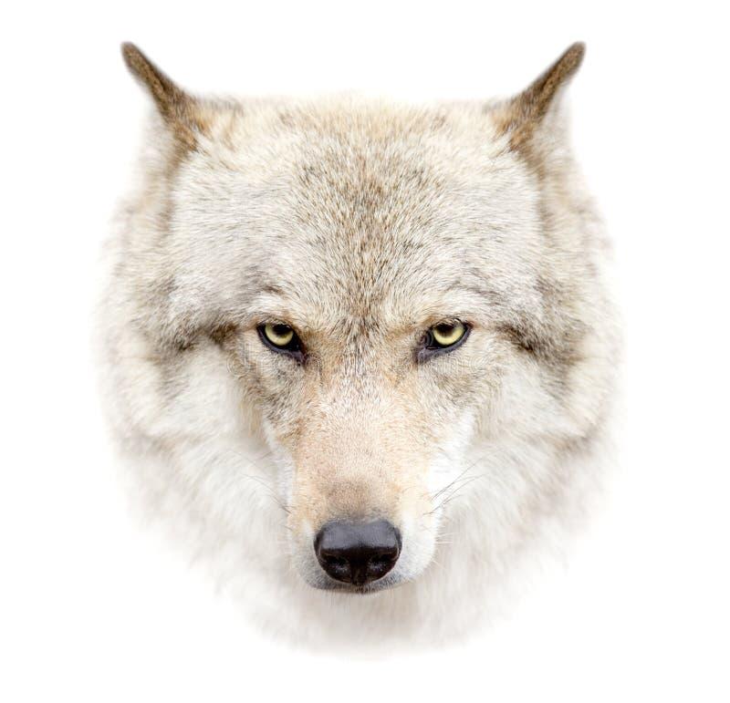 Fronte del lupo su fondo bianco