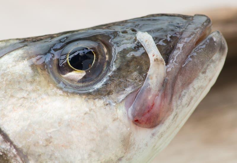Fronte del pesce fotografia stock