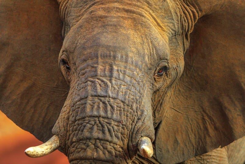 Fronte dell'elefante africano fotografia stock libera da diritti