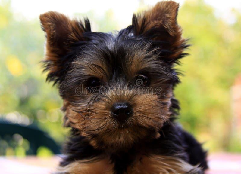 Fronte dell'Yorkshire terrier fotografia stock libera da diritti