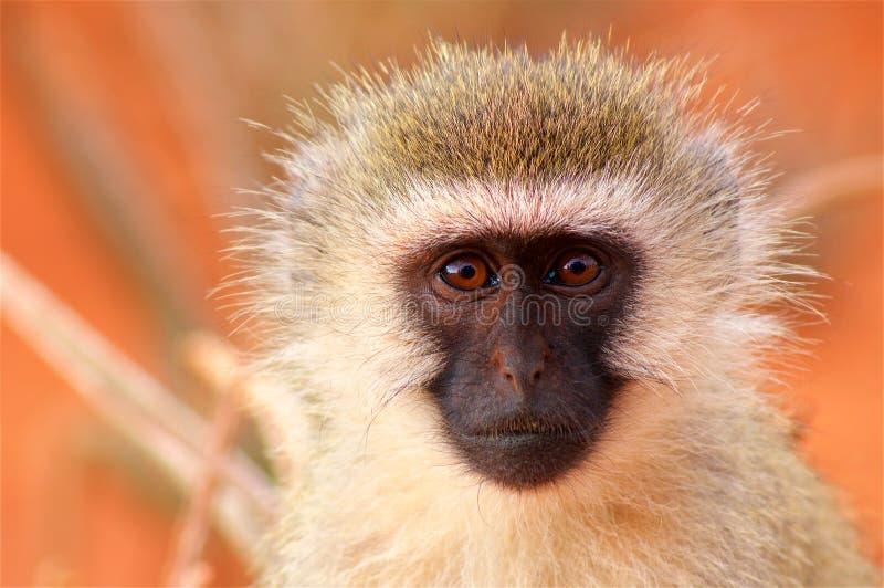 Fronte della scimmia in savanna in Africa immagine stock libera da diritti