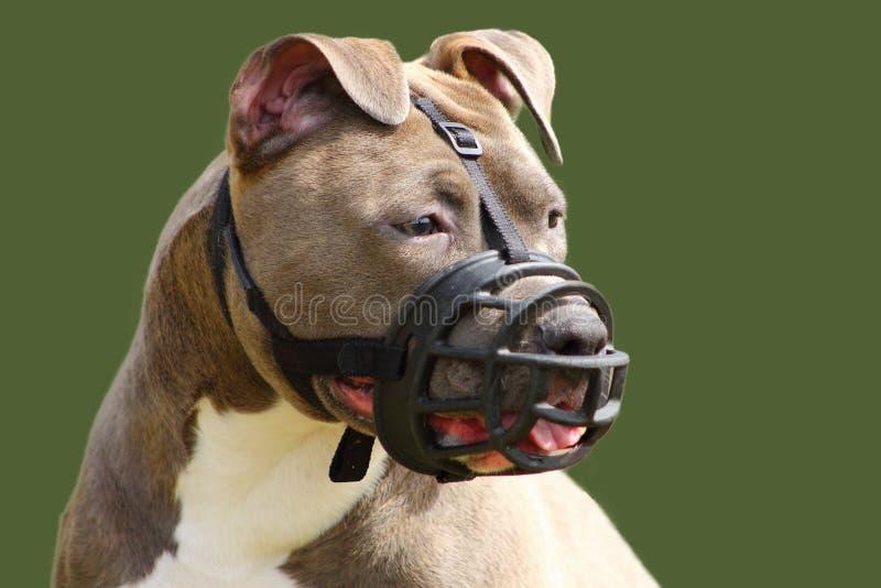 Fronte di un cane del terrier di Staffordshire americano con la museruola immagini stock libere da diritti