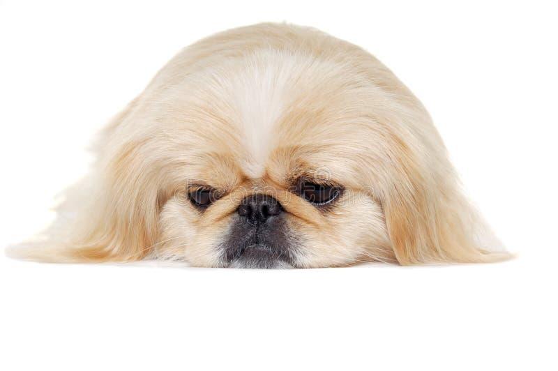 Fronte di un cane pekingese triste immagine stock