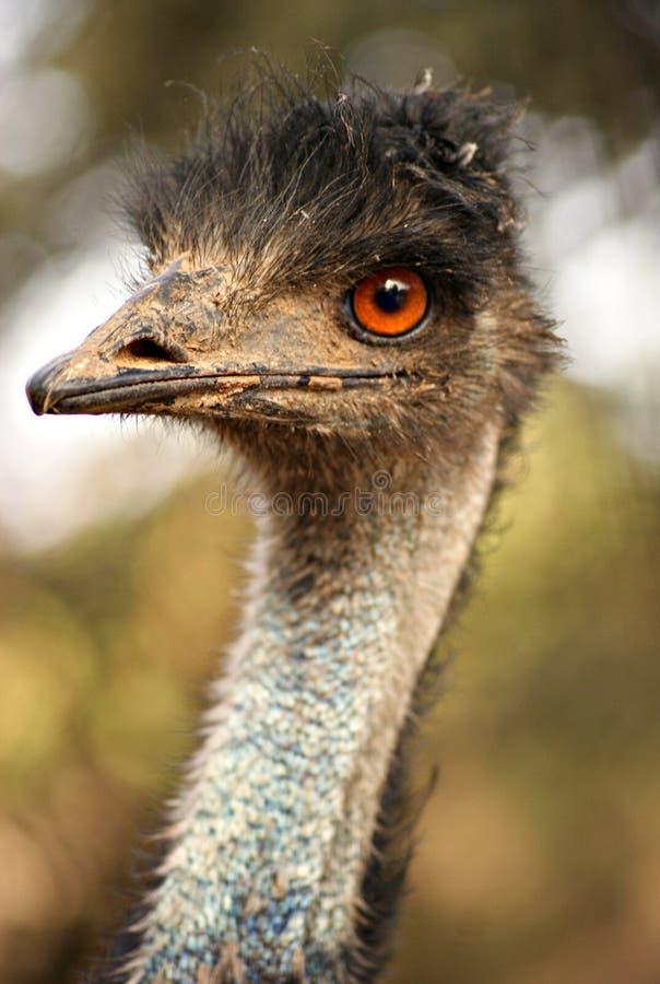 Fronte di un uccello australiano dell'emù immagine stock libera da diritti