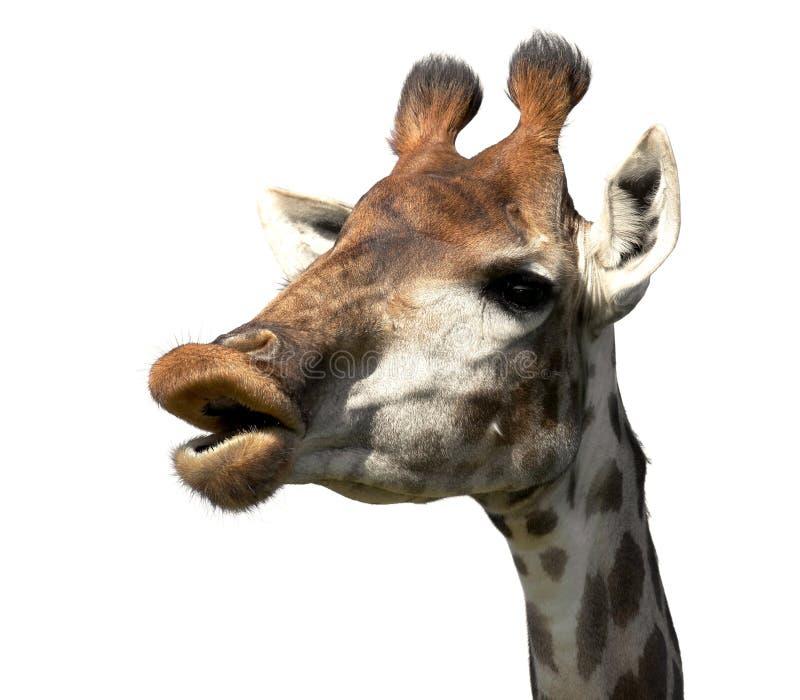 Fronte divertente della giraffa fotografie stock