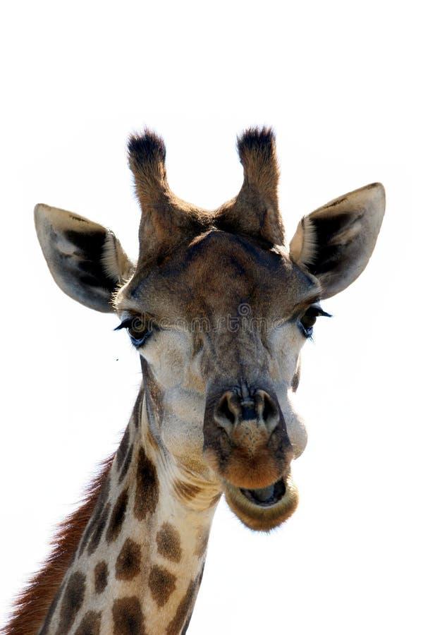 Fronte divertente della giraffa immagini stock