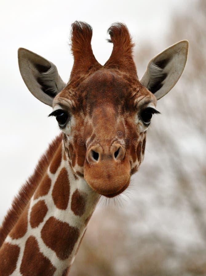 Fronte divertente o triste della giraffa? immagini stock