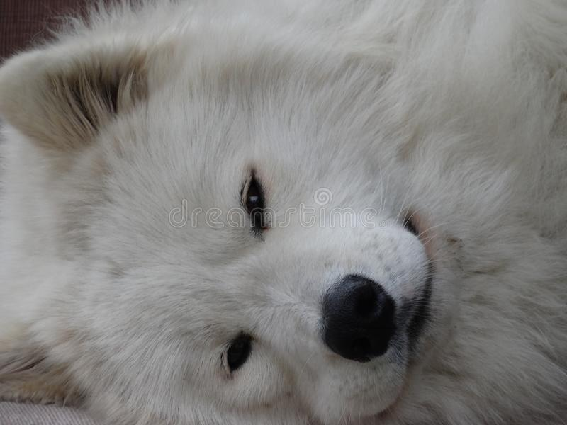 Fronte dolce di un cane bianco immagini stock