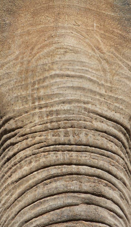 Fronte e circuito di collegamento dell'elefante fotografia stock libera da diritti