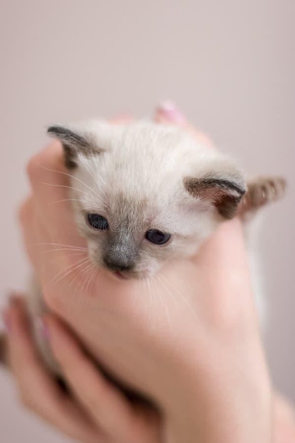 Fronte lanuginoso di giovane gattino tailandese siamese con gli occhi azzurri nelle sue armi fotografia stock