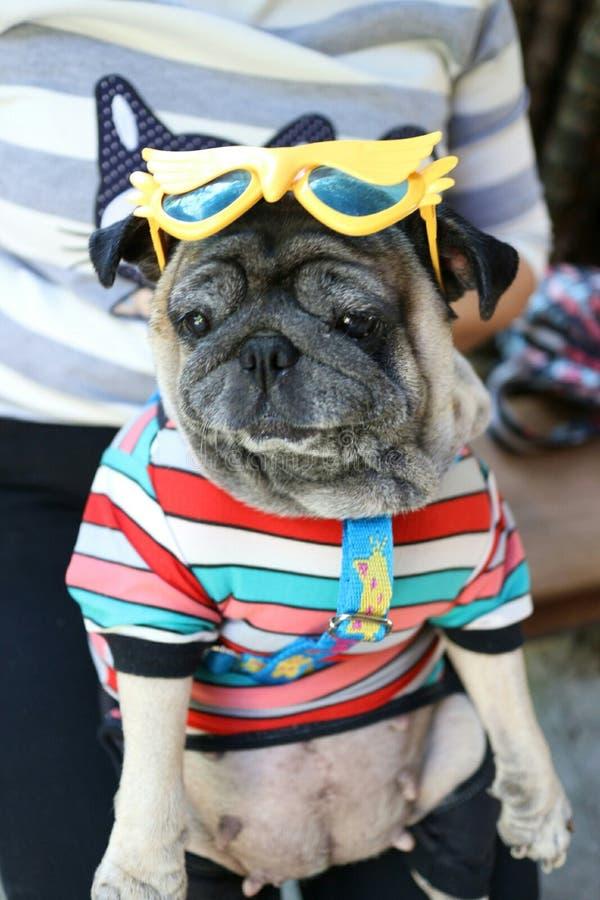 Fronte molto triste grasso di espressione del cane del carlino fotografie stock