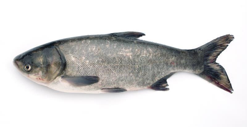 'Fronte pesante chiamata pesci '' immagine stock libera da diritti