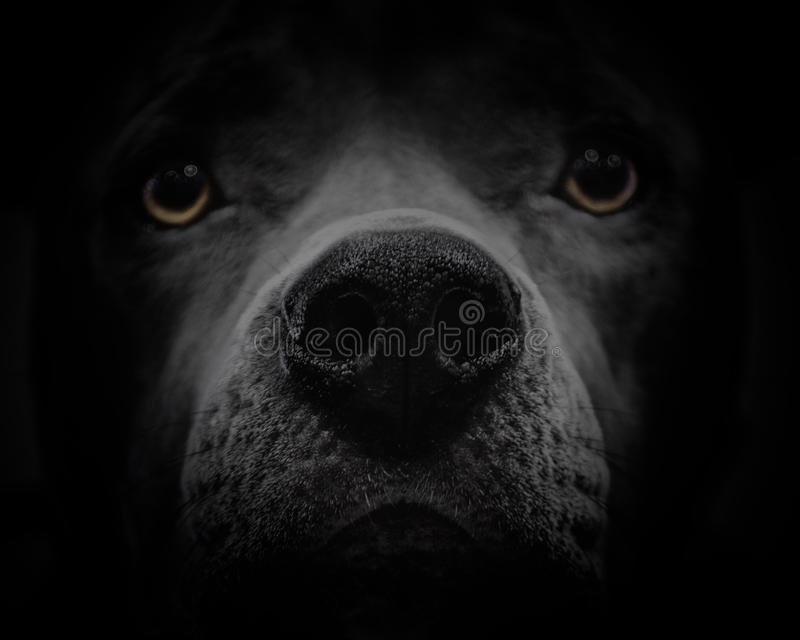Fronte scuro del cane con gli occhi gialli fotografia stock