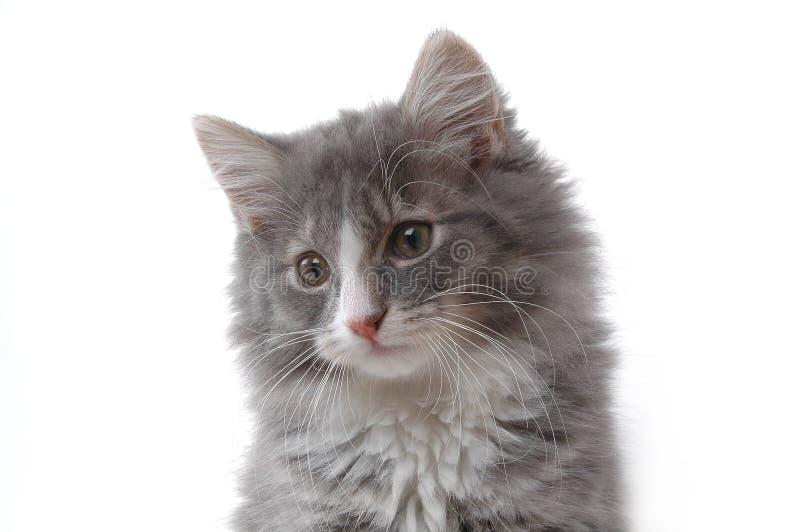 Fronte sveglio del gattino fotografia stock libera da diritti