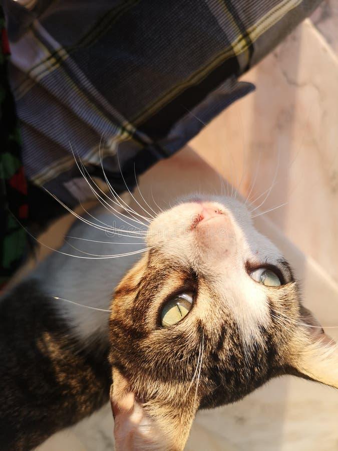 Fronte sveglio del gatto fotografia stock libera da diritti