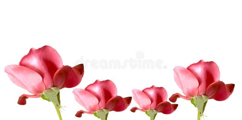 Frontera color de rosa del rojo imagenes de archivo