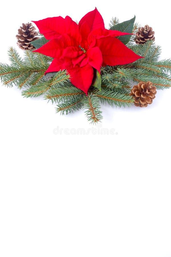 Frontera de la Navidad de la poinsetia, de las ramas de árbol de abeto y del cono del pino imagen de archivo