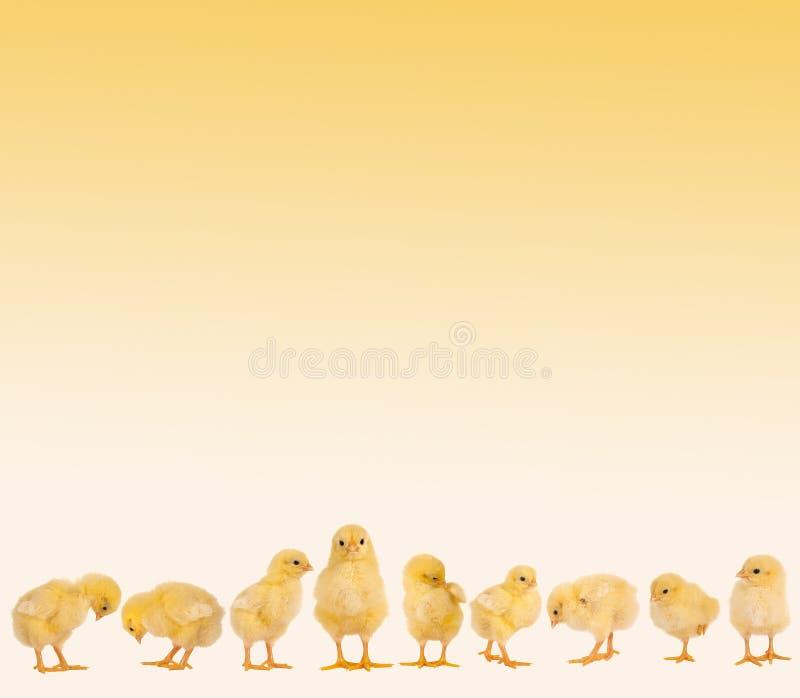 Frontera de Pascua con los polluelos imagen de archivo