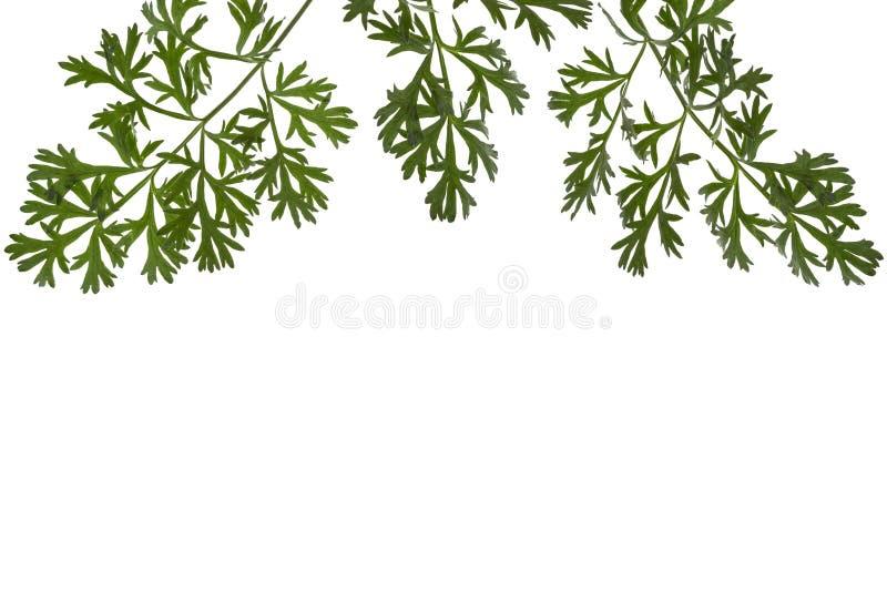 Frontera herbaria o afilamiento de ramas de la artemisa ( ajenjo, absintio, ajenjo del ajenjo, ajenjo ) se va, imágenes de archivo libres de regalías
