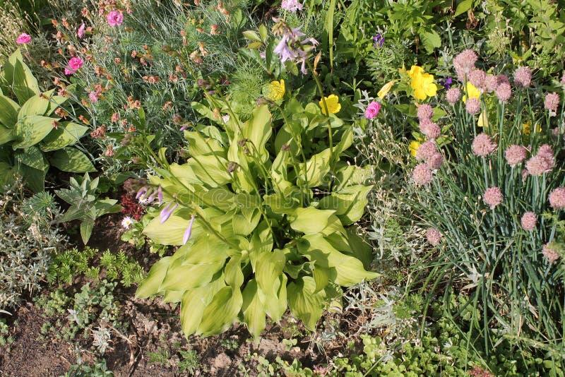 Frontera mezclada con el follaje verde del lirio del hosta o de llantén y de diverso de plantas anuales y perennes imágenes de archivo libres de regalías