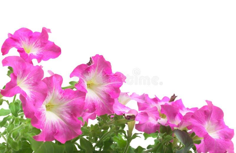 Frontera rosada de la petunia fotografía de archivo libre de regalías