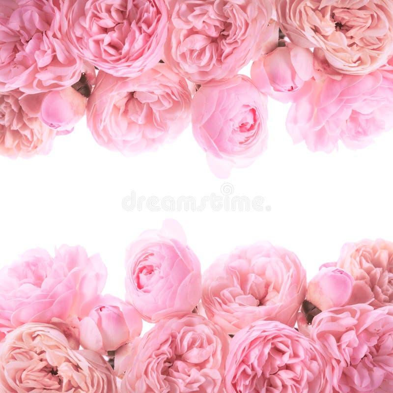 Frontera rosada de las rosas fotografía de archivo